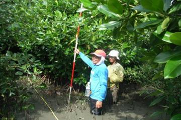 Rhizophora mucronata species of mangrove planted in 1999 in Pemalang site.
