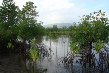 Mangrove planted in Barangay Jose Panganiban in Capalonga, Camarines Norte