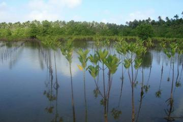 Growing mangroves planted by OISCA in the abandoned fishponds in Capalonga